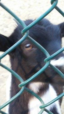 Goat selfie