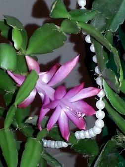 Cactus plant blooms